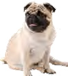 Big dog in small package – Pug