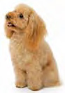 The regal breed - Poodle